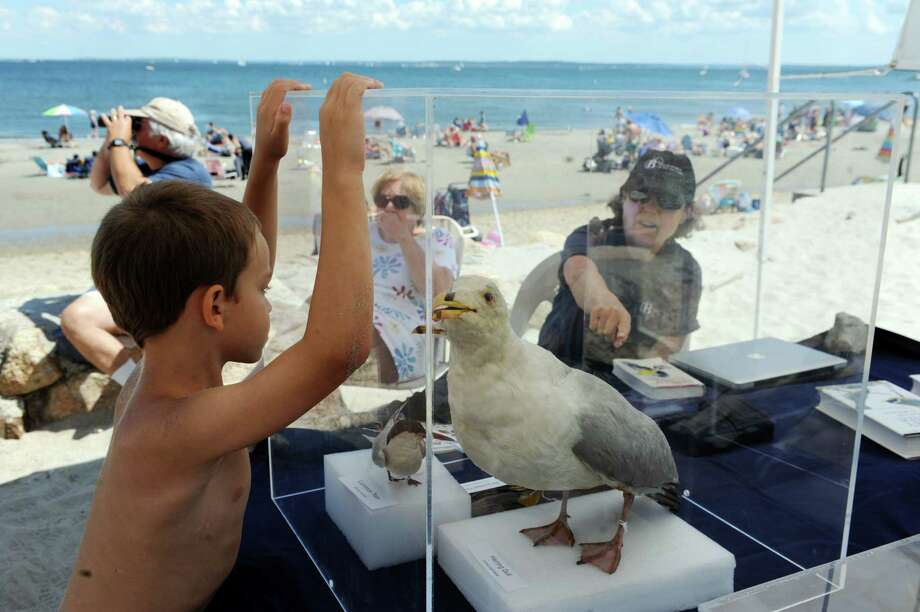 Michael Parrino, 6, looks at a stuffed seagull at the Bruce Museum Seaside Center at Greenwich Point Park, in Greenwich, Conn., Sunday, August 4, 2013. Photo: Helen Neafsey / Greenwich Time