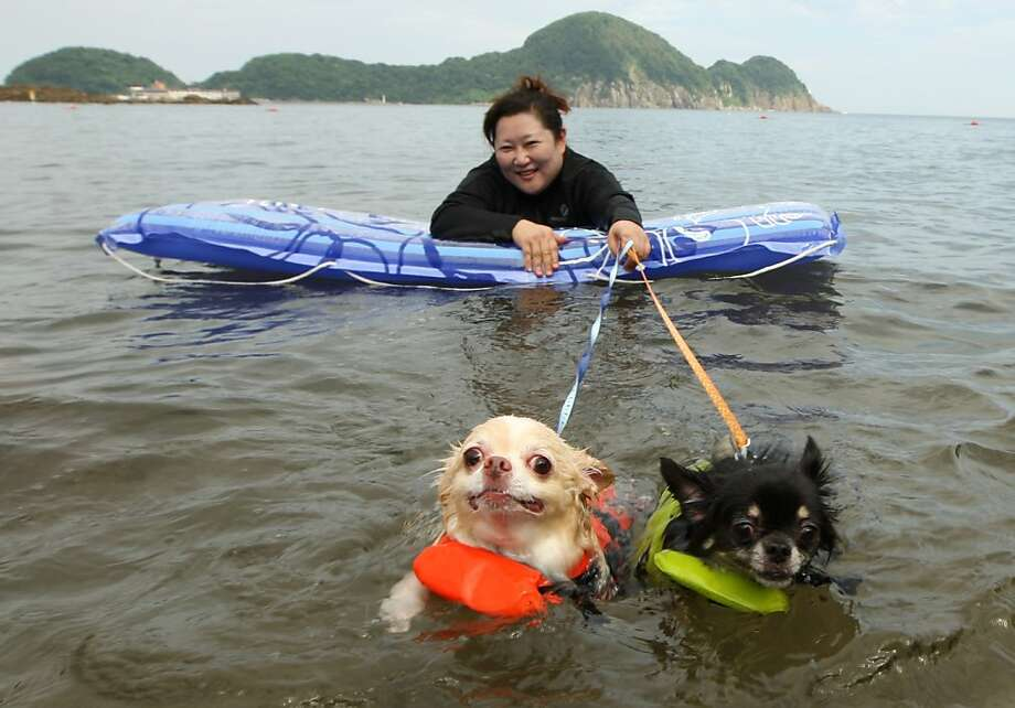 Keep paddling, boys! I can see land! A Japanese woman takes her Chihuahua-powered craft for a ride at Takeno Beach in Toyooka, Japan. Photo: Buddhika Weerasinghe, Getty Images