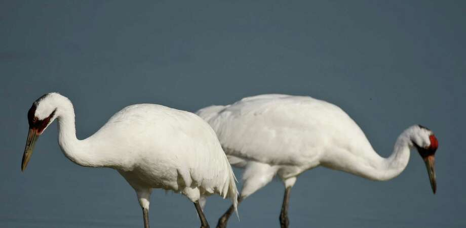 A male and female whooping crane look for food in March 2010 at the Aransas National Wildlife Refuge. An Aransas Project lawsuit over high salinity levels in the cranes' feeding grounds, due to withdrawals of water from rivers, goes to trial this week in New Orleans. Photo: Nick De La Torre, Staff / Houston Chronicle