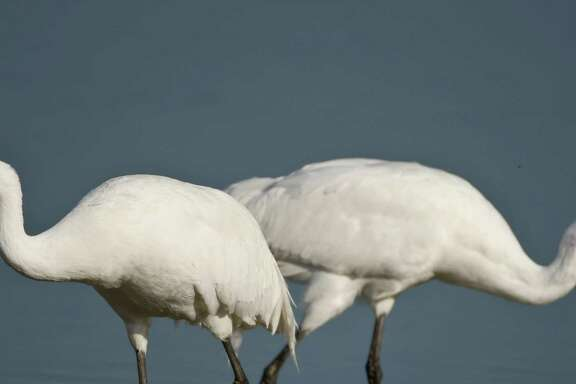 A male and female whooping crane look for food in March 2010 at the Aransas National Wildlife Refuge. An Aransas Project lawsuit over high salinity levels in the cranes' feeding grounds, due to withdrawals of water from rivers, goes to trial this week in New Orleans.