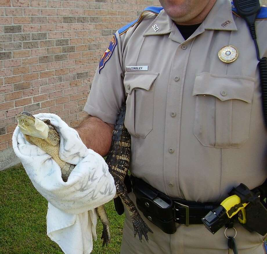 A Lumberton couple discovered a gator in their backyard the morning of Aug. 6 on Westgate Lane in the Westwood Subdivision near Lumberton. Photo: Handout