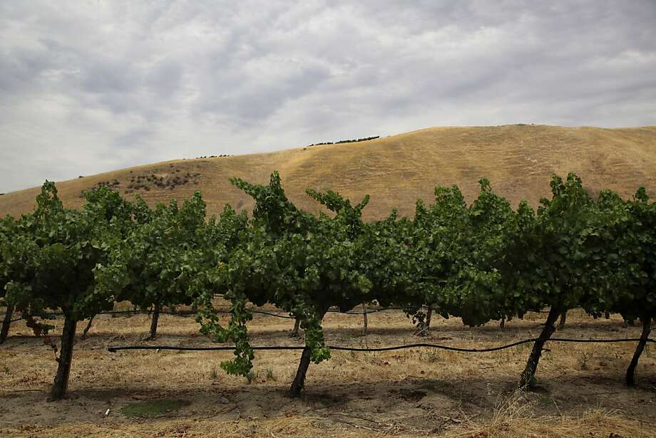 Wente's Semillon vineyards in Livermore. Photo: Preston Gannaway, Special To The Chronicle