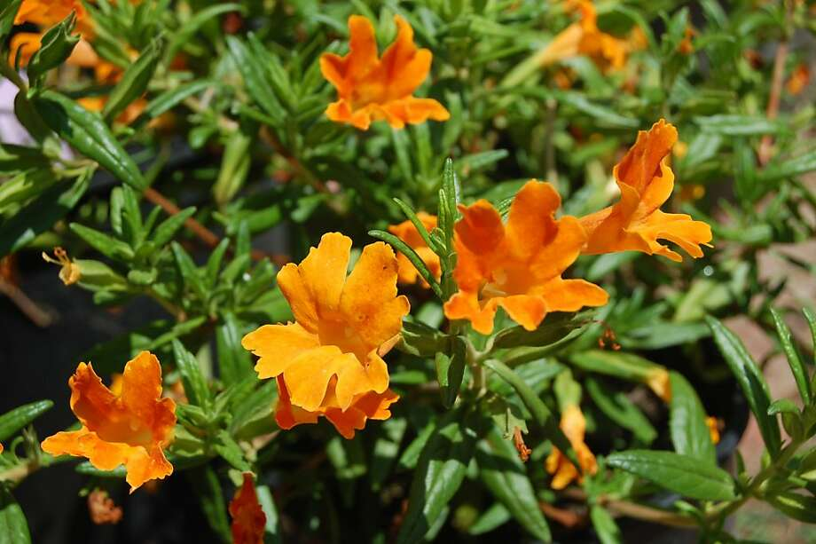 A Mimulus Jelly Bean plant comes in a variety of colors, including orange. Photo: Erle Nickel