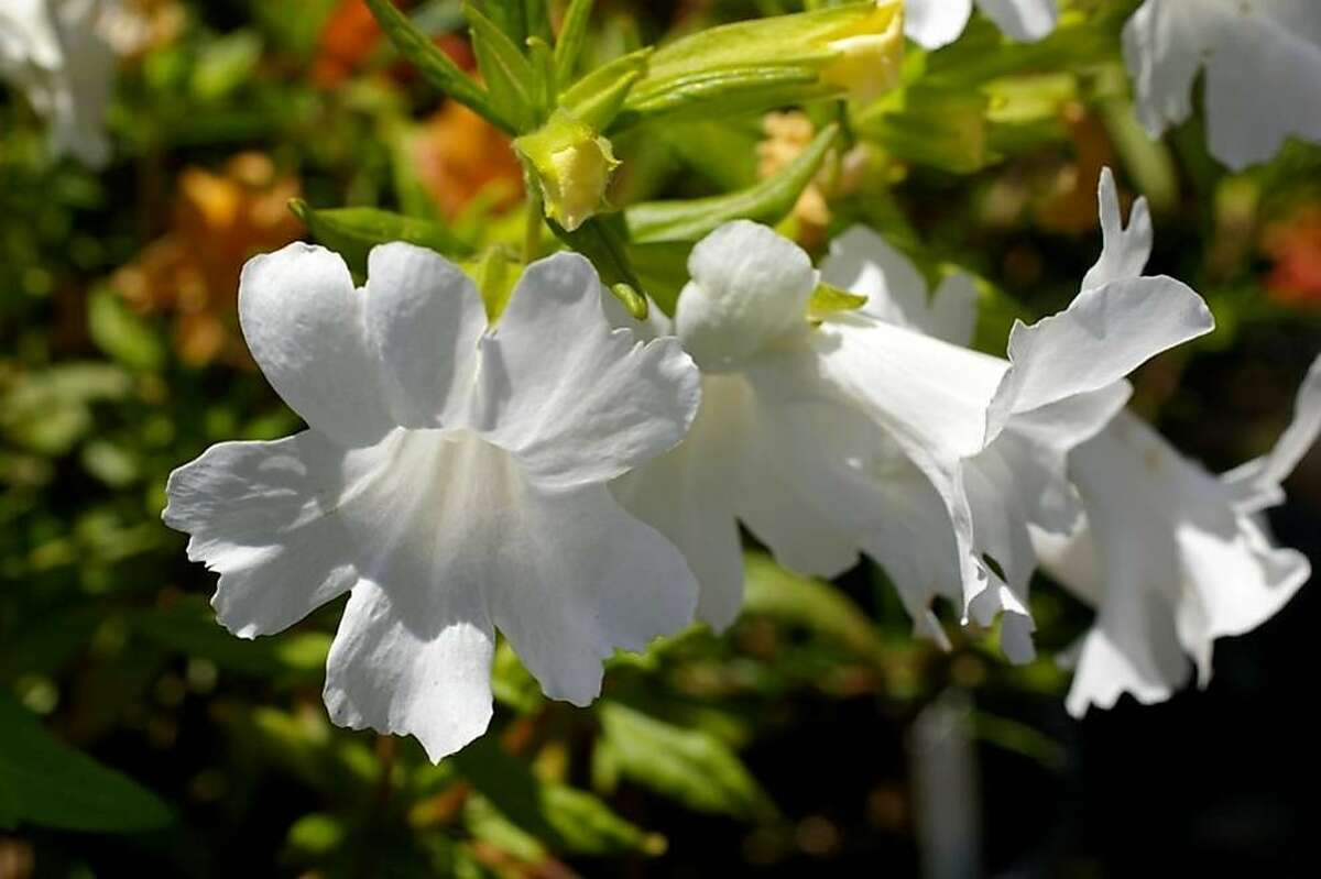 Mimulus flowers: 'Verity White'