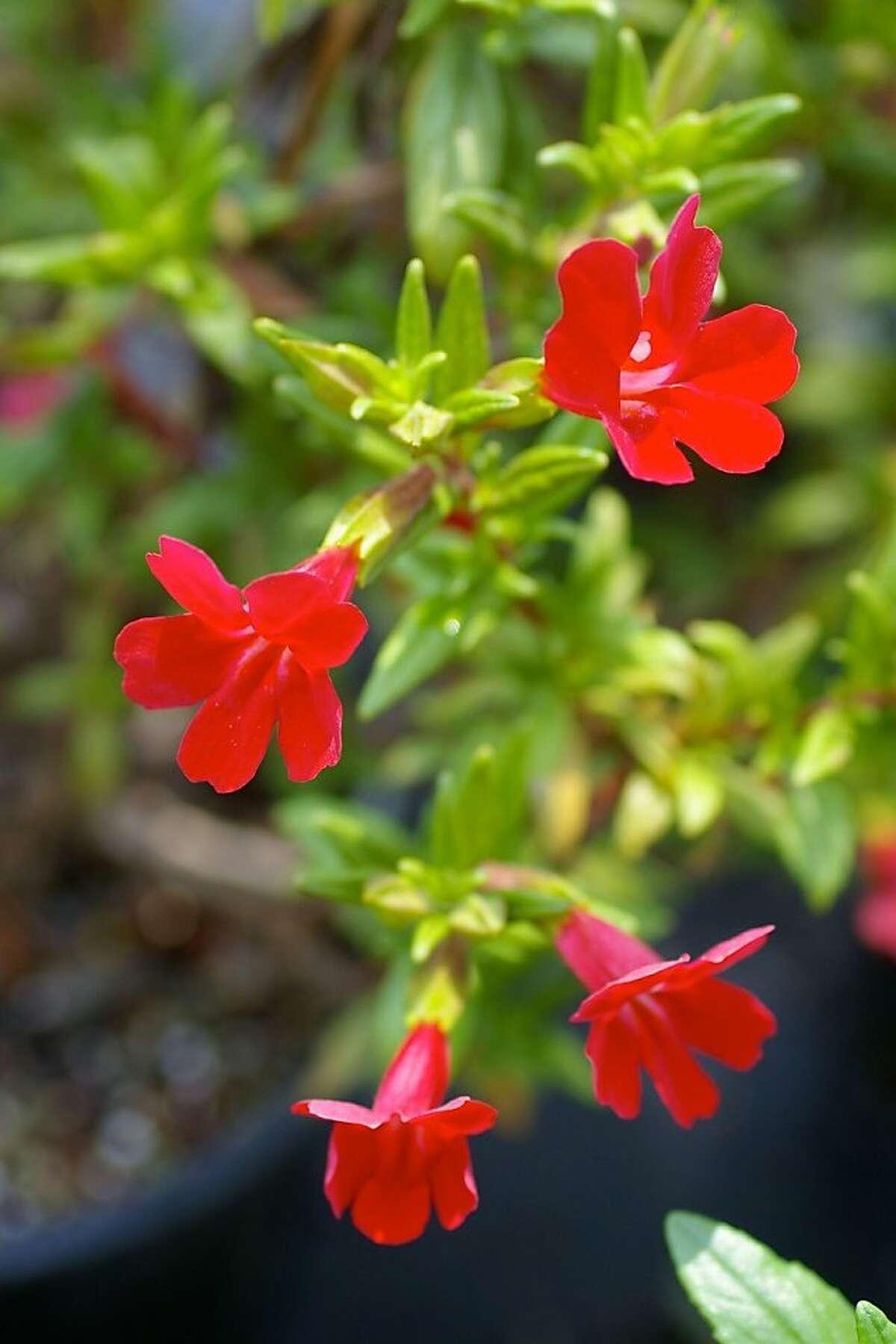 Mimulus flowers, 'Valentine.'