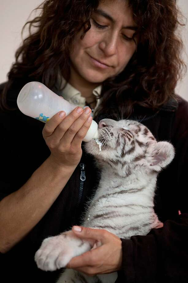Somebody needs a napkin:Veterinarian Catalina Hermoza bottle-feeds a 6-week-old white Bengal at the Huachipa Zoo on the outskirts of Lima. The unnamed female was separated from her mother, Clarita, because the mother was not lactating properly. She will join Clarita in about six months. Photo: Martin Mejia, Associated Press