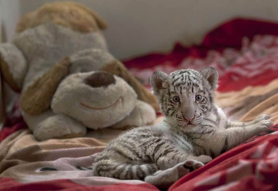 The Bengal and the beagle: Separated from its mother, who wasn't lactating properly, a baby white tiger relies on its blanket and a stuffed dog for comfort at the Huachipa Zoo in Lima. Photo: Martin Mejia, Associated Press