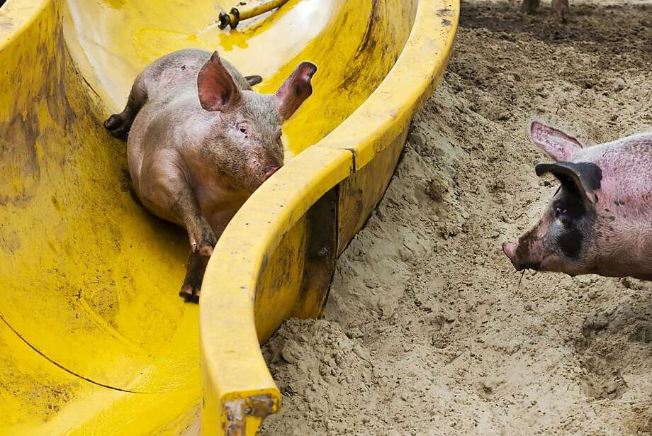 Hot Squeals® by Mattel: Race your pigs down the Triple Track Twister! (Farmer Erik Stegink bought this old pool slide so his pigs could have more fun slipping into their mud pool in Bathmen, Netherlands.) Photo: Vincent Jannink, AFP/Getty Images