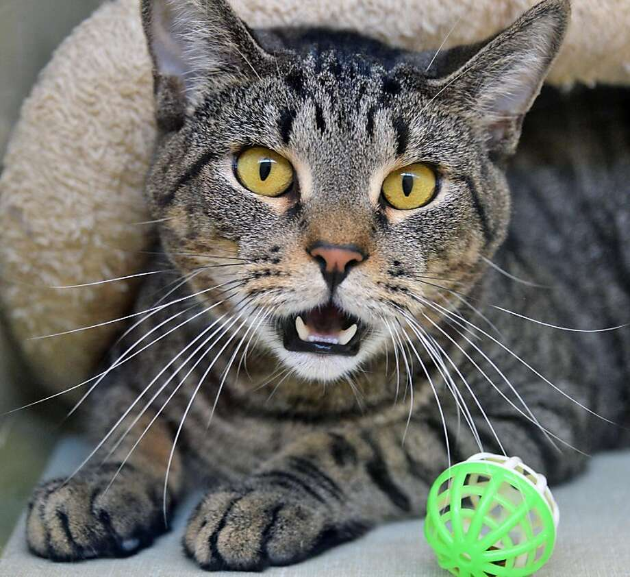 Jeff Bezos bought the Washington Post for $250 million?! Walter, a 3-year-old tabby at the Animal Protective Foundation in Scotia, NY, is easily surprised. Photo: John Carl D'Annibale, Albany Times Union