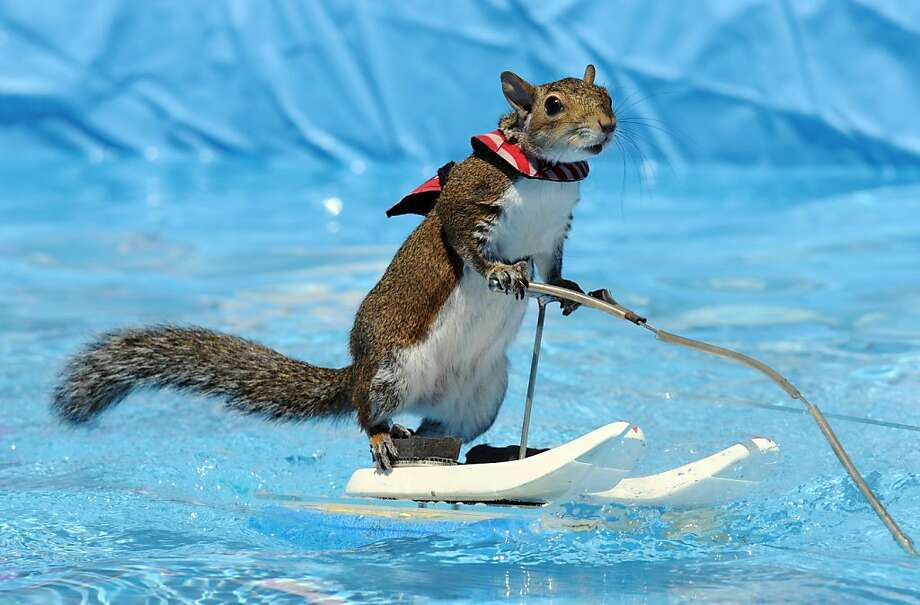 Twiggy has become so good at waterskiing, he can do it without even getting his tail wet at the Family Fun Zone in St. Joseph, Mich. Photo: Don Campbell, Associated Press
