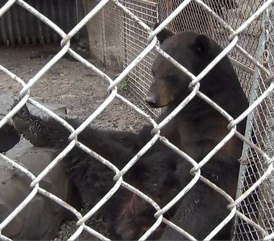 Preston, a 9-year-old black bear removed from a private residence in Ohio, has a lot more room to roam at the Wildlife Rescue & Rehabilitation's sanctuary in Kendalia. Photo: Courtesy Of Lions Tigers & Bears