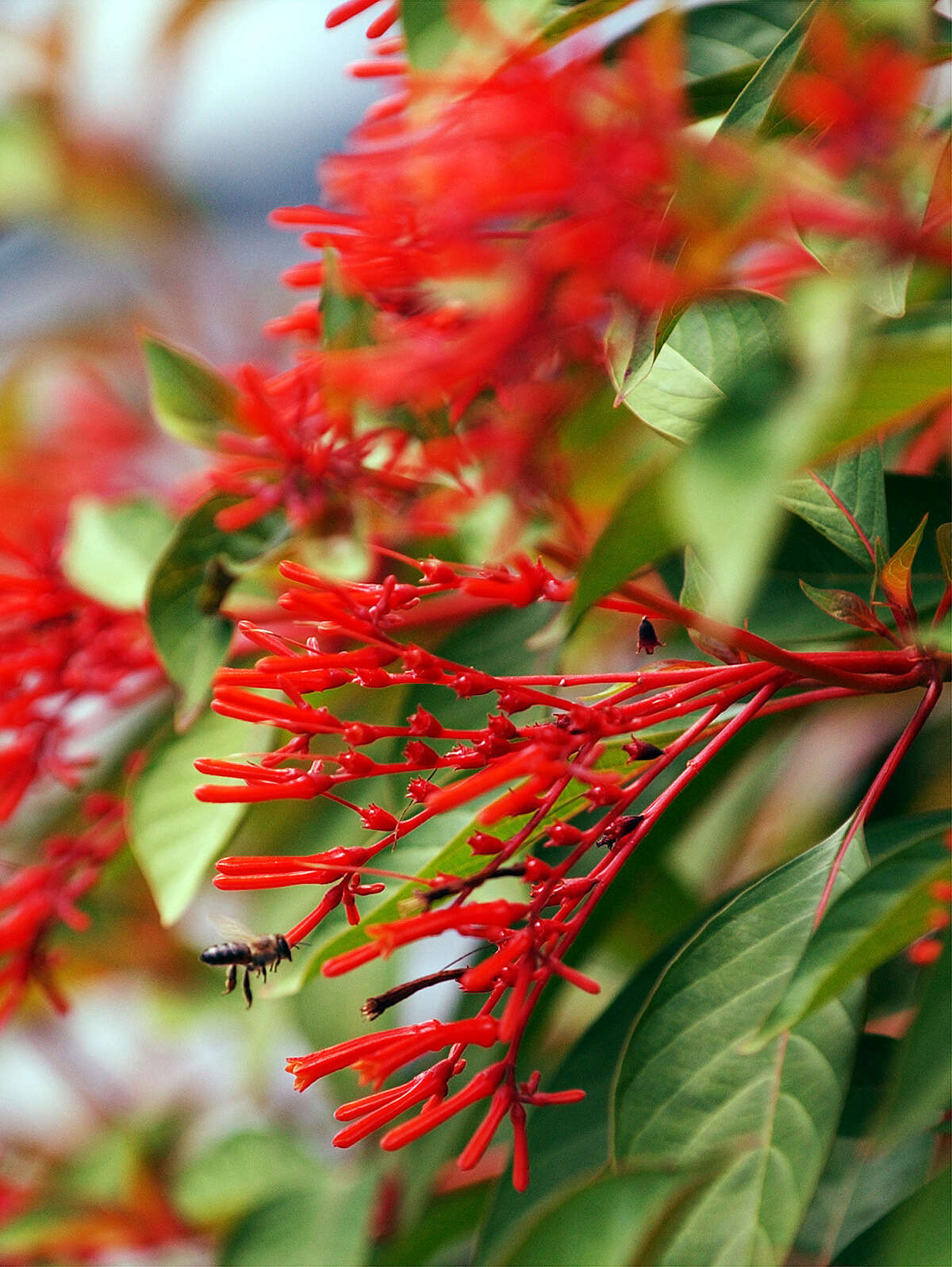 Firebush is a prominent part of most xeriscape landscapes in the San Antonio area. Blooming lasts until cold weather arrives.