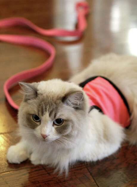 A Ragdoll cat named Gracie, owned by Mary Kleypas, waits to be taken on a walk Sunday, July 28, 2013, in Spring. Gracie has a Facebook page titled Ragdoll Gracie that has almost 24,000 friends. ( Melissa Phillip / Houston Chronicle ) Photo: Melissa Phillip, Staff / © 2013  Houston Chronicle