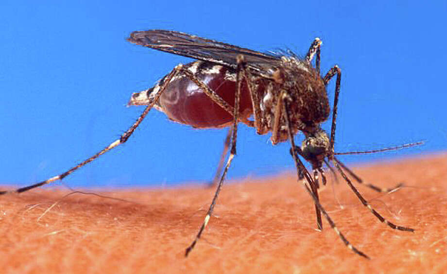 Westport is one of 12 state communities where West Nile virus-infected mosquitoes have been found so far this summer, according to state officials. Photo: File Photo / Westport News
