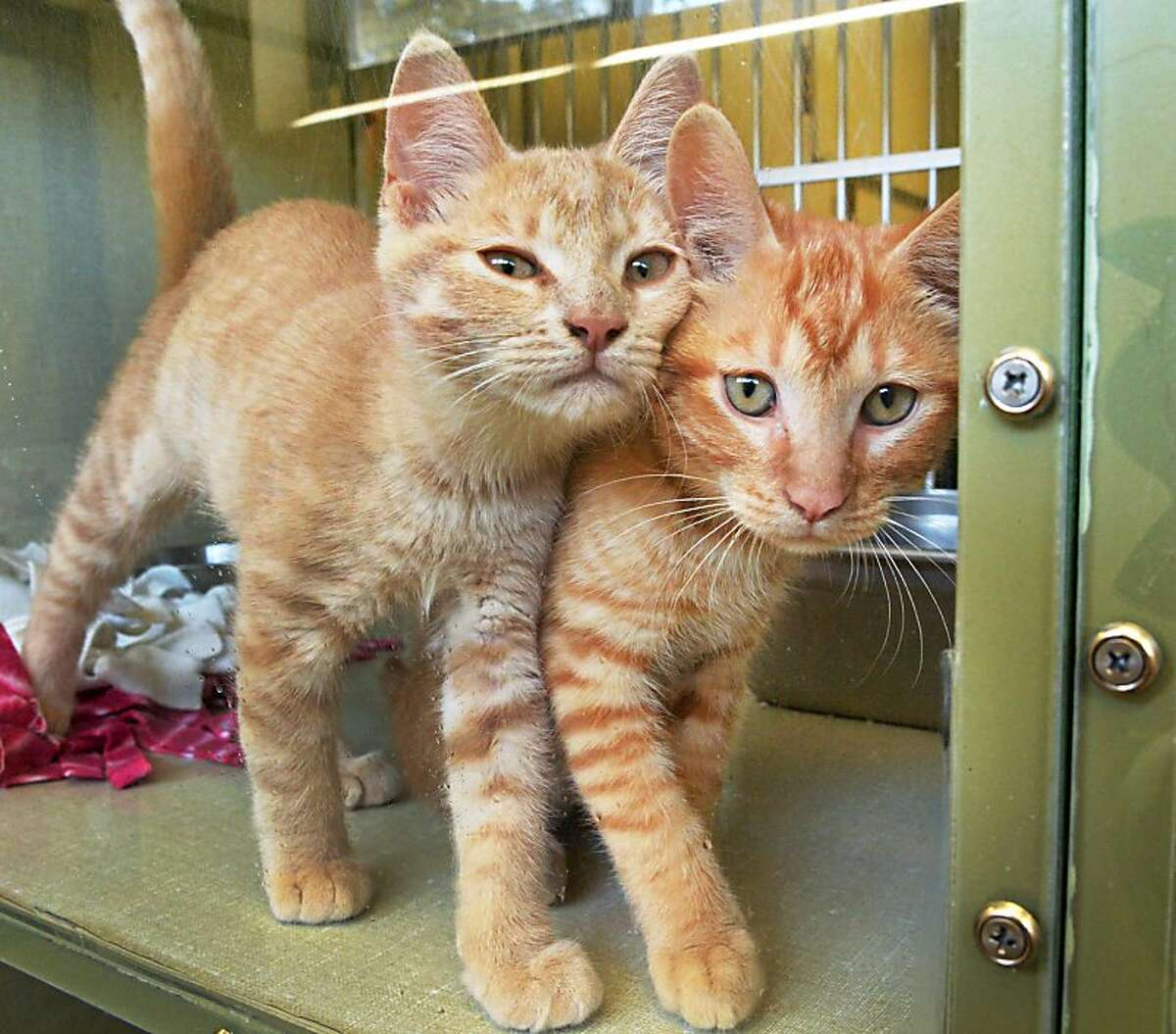 We're not Siamese twins! We just walk like we're conjoined: Ray and Carl are inseparable at the Animal Protective Foundation in Scotia, N.Y.