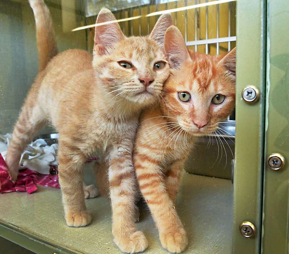 We're not Siamese twins! We just walk like we're conjoined:Ray and Carl are inseparable at the Animal Protective Foundation in Scotia, N.Y. Photo: John Carl D'Annibale, Albany Times Union