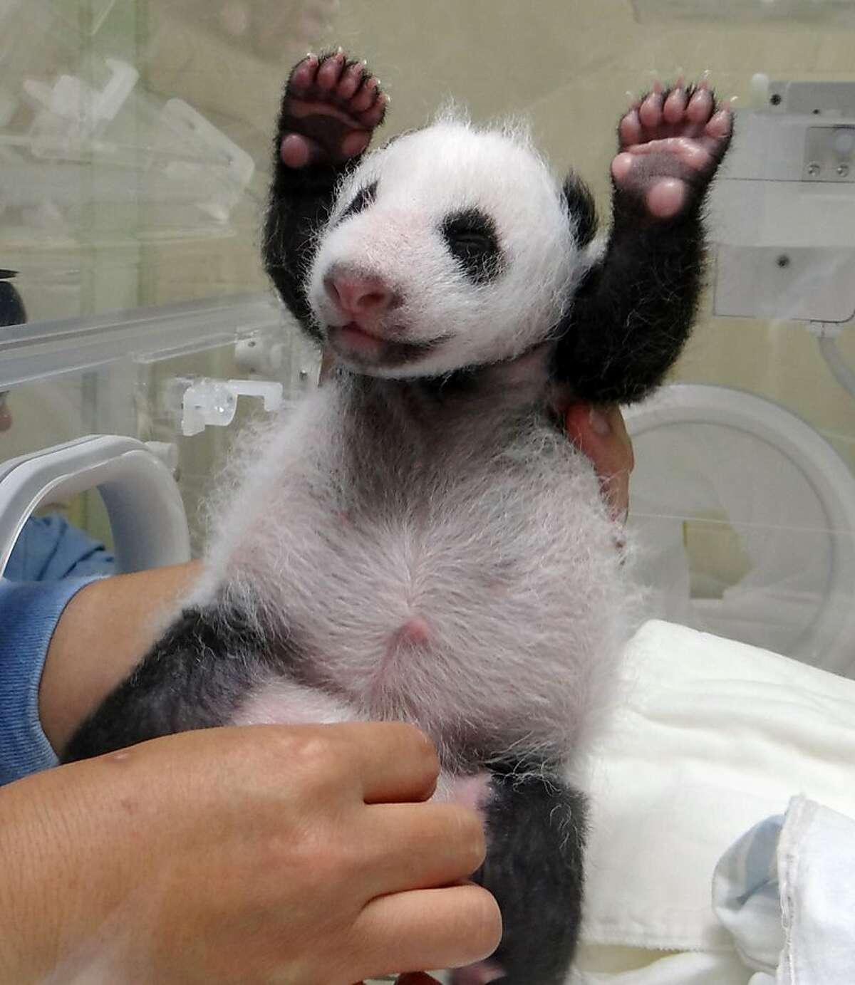 Whee! A zookeeper stimulates a newborn panda cub in its incubator at the Taipei City Zoo.