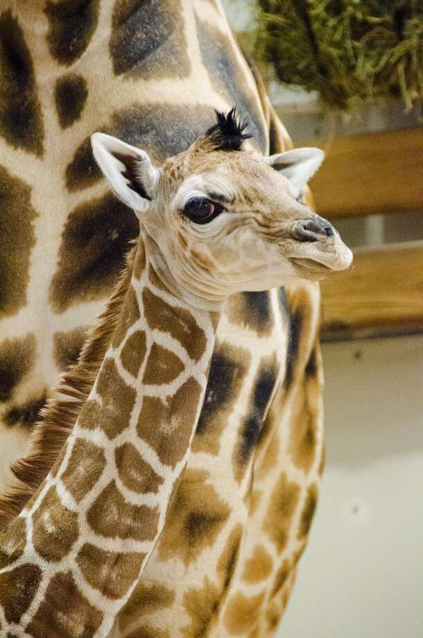 Woodland Park Zoo's baby giraffe, pictured Wednesday, Aug. 7, 2013.