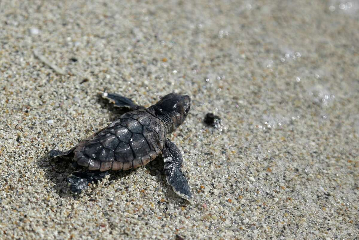 A loggerhead hatchling makes its way into the ocean along Haulover Beach in Miami. A conservation specialist for the Miami-Dade County Sea Turtle Conservation Program holds a loggerhead egg on Haulover Beach.