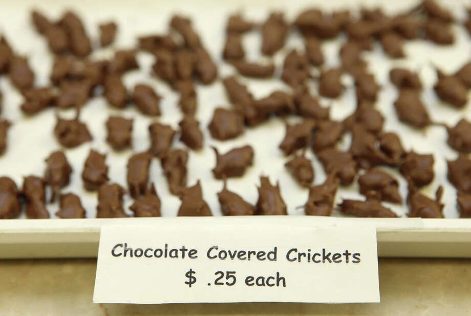 Hotlix also makes chocolate-coated crickets, pictured in 2010, and cheese-flavored crickets.  Photo: Barcroft Media, - / Barcroft Media