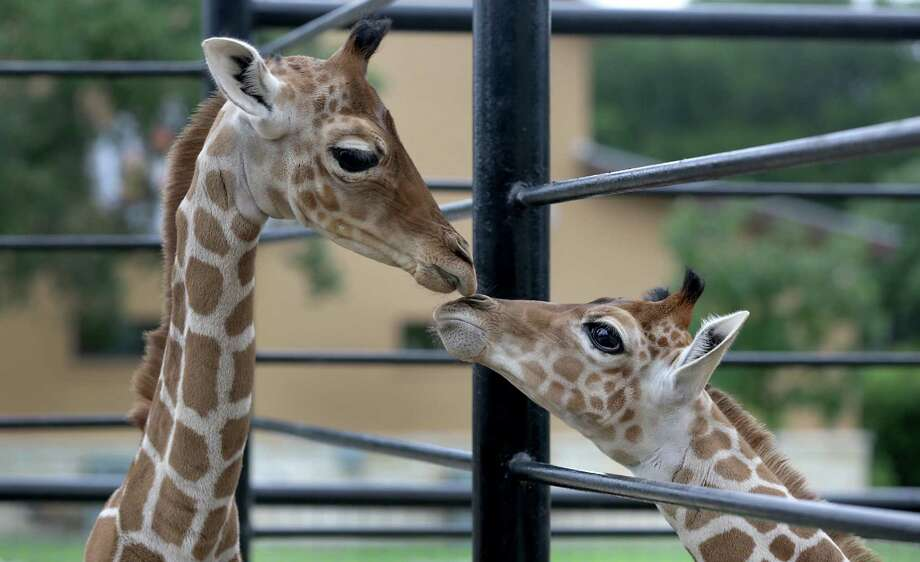 Twin reticulated giraffes, Nakato (left), a male, and Wasswa, a female, were born at Natural Bridge Wildlife Ranch on May 10. Photo: Bob Owen / San Antonio Express-News