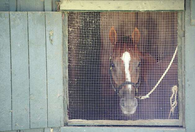 Wise Dan looks out the rear of his stall at the main track at Saratoga Race Course Wednesday, Aug. 7, 2013, where he will compete in Saturday's Fourstardave Handicap in Saratoga Springs, N.Y.  (Skip Dickstein/Times Union) Photo: SKIP DICKSTEIN
