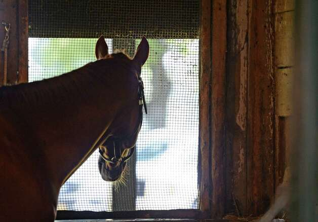 Wise Dan looks out the rear of his stall at the main track at the Saratoga Race Course August 7, 2013 where he will compete in Saturday's Fourstardave Handicap at the historic track in Saratoga Springs, N.Y.       (Skip Dickstein/Times Union) Photo: SKIP DICKSTEIN