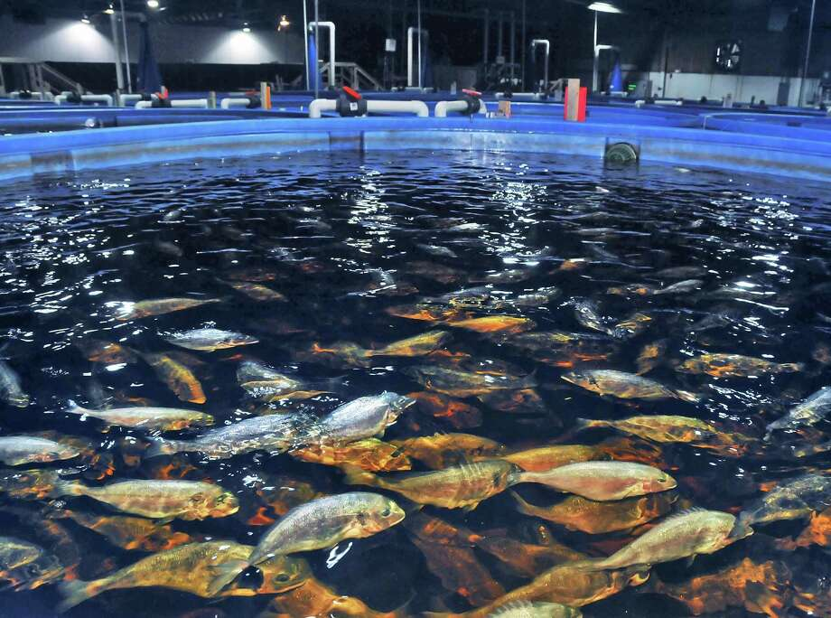 A tankful of Royal Dorade (Sea Bbream) at Local Ocean in a facility in Greenport, N.Y. Wednesday April 28, 2010. (John Carl D'Annibale / Times Union archive) Photo: John Carl D'Annibale
