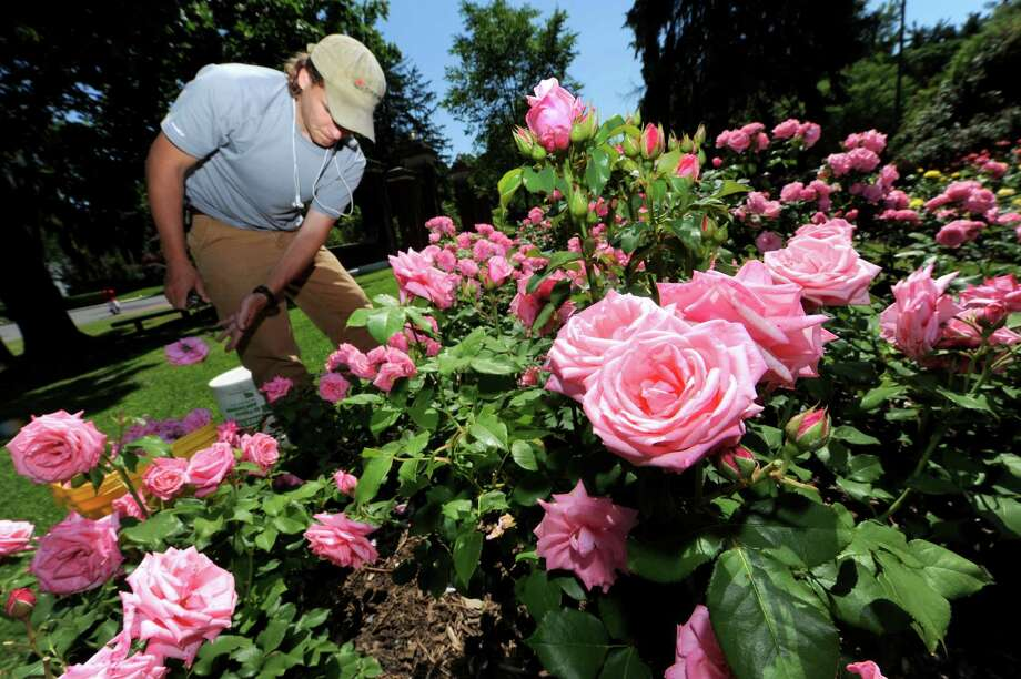 Rose garden (Michael P. Farrell/Times Union) Photo: Michael P. Farrell