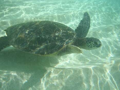 "This little turtle, dubbed ""Tripod"" for his missing back fin decided he wanted to swim next to me in Hawaii. This was the most amazing working trip I have worked on. I was sent to work in Hawaii for 6 weeks, and had a day off every week to go enjoy the island.