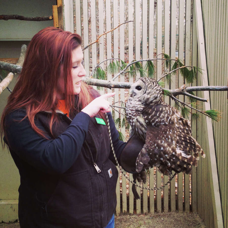 Erika Labrie, an animal technician at Earthplace in Westport, works with Marble, a barred owl. The nature center's birds of prey will be in the spotlight on Friday, Aug. 16, 2013, when Earthplace hosts a family fundraiser. For more information, visit http://www.earthplace.org. Photo: Contributed Photo