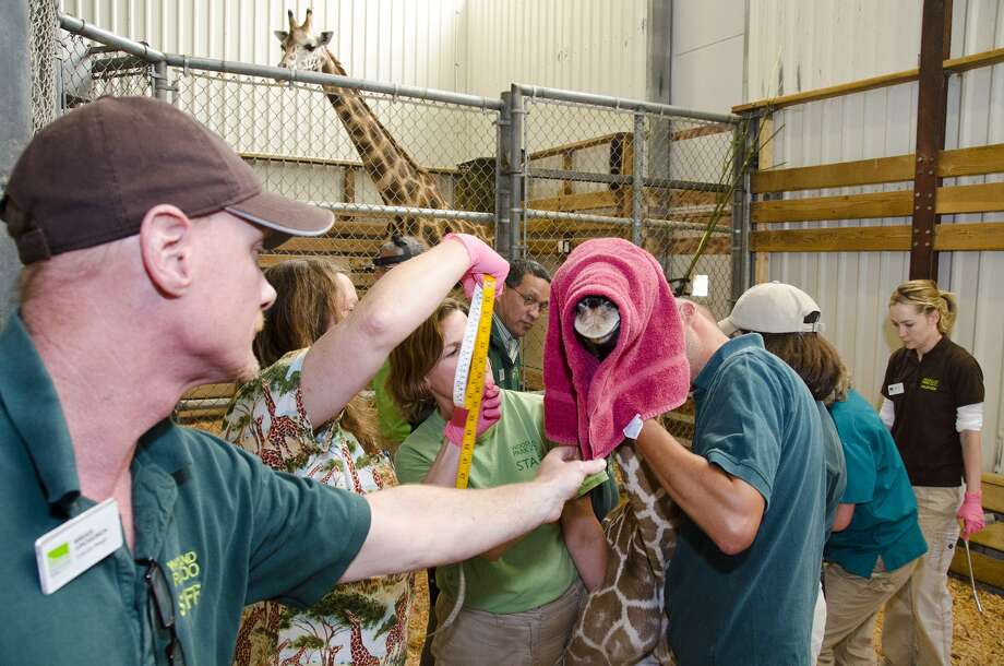 A baby giraffe born at Woodland Park Zoo, pictured in a zoo photo.