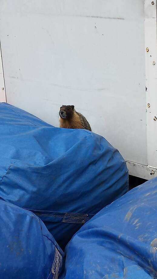 A wayward yellow-bellied marmot that has been lost in city backyards has finally been rescued. Photo: Courtesy, Leanne Waldal