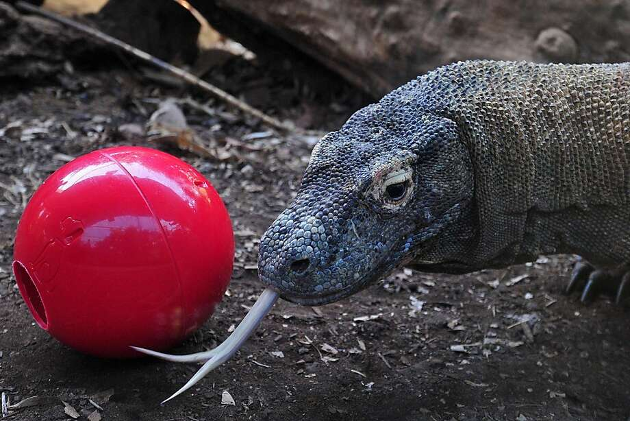 How to train your dragon ... to play bocce: It helps if you stuff treats in the hole. (Komodo dragon, London Zoo.) Photo: Carl Court, AFP/Getty Images