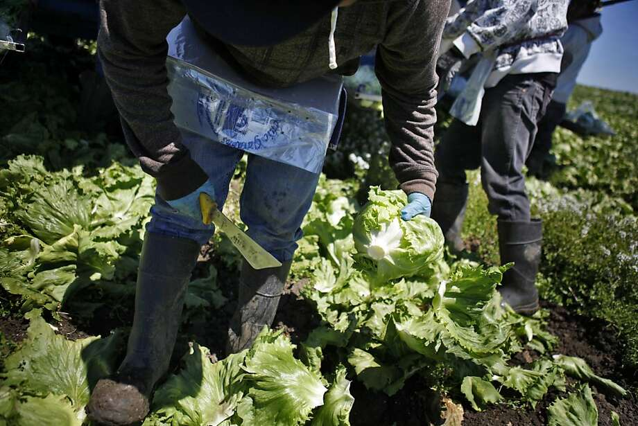 Prices for iceberg lettuce, like this at Dick Peixoto's organic farm in Watsonville, have doubled. Photo: Carlos Avila Gonzalez, The Chronicle