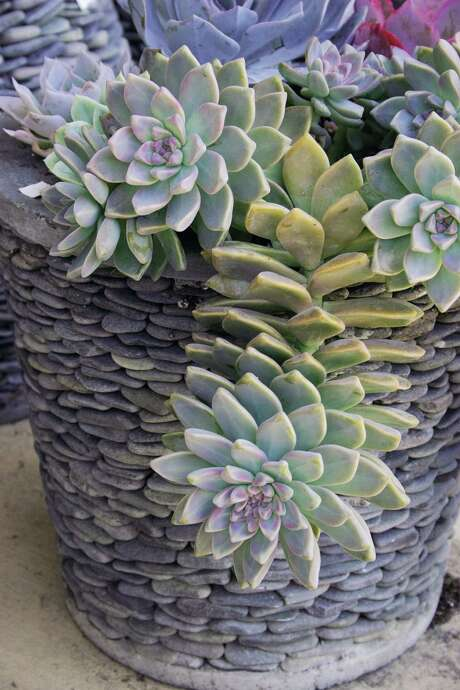 Succulent containers a cool way to enjoy gardening in the heat houston chronicle - Cool succulent plants ...