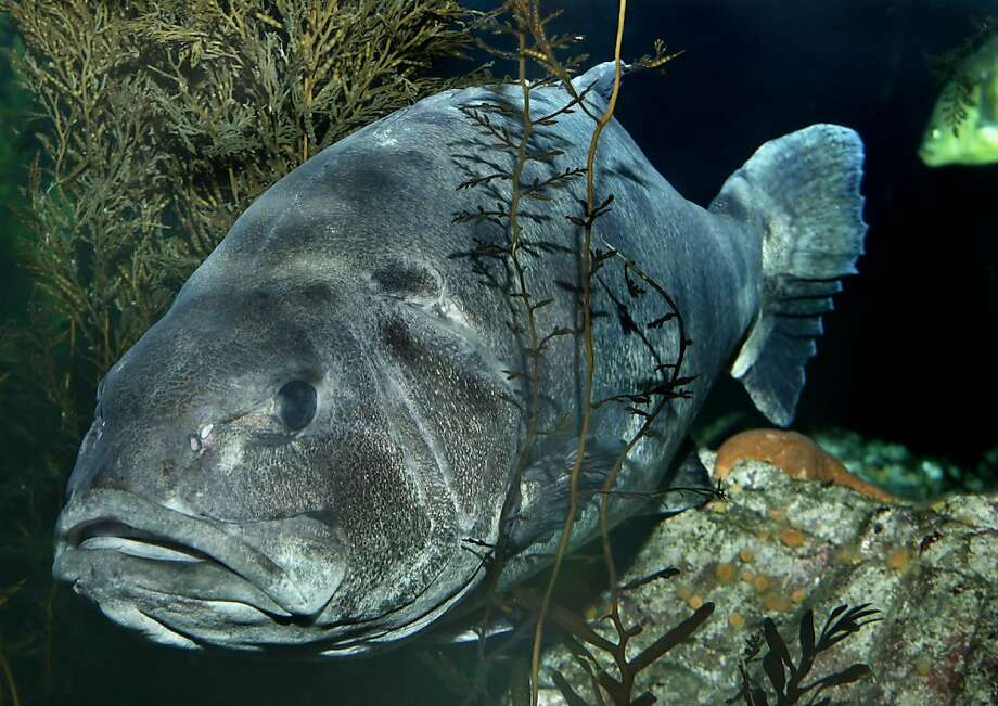 Giant sea bass Photo: Randy Wilder, Monterey Bay Aquarium