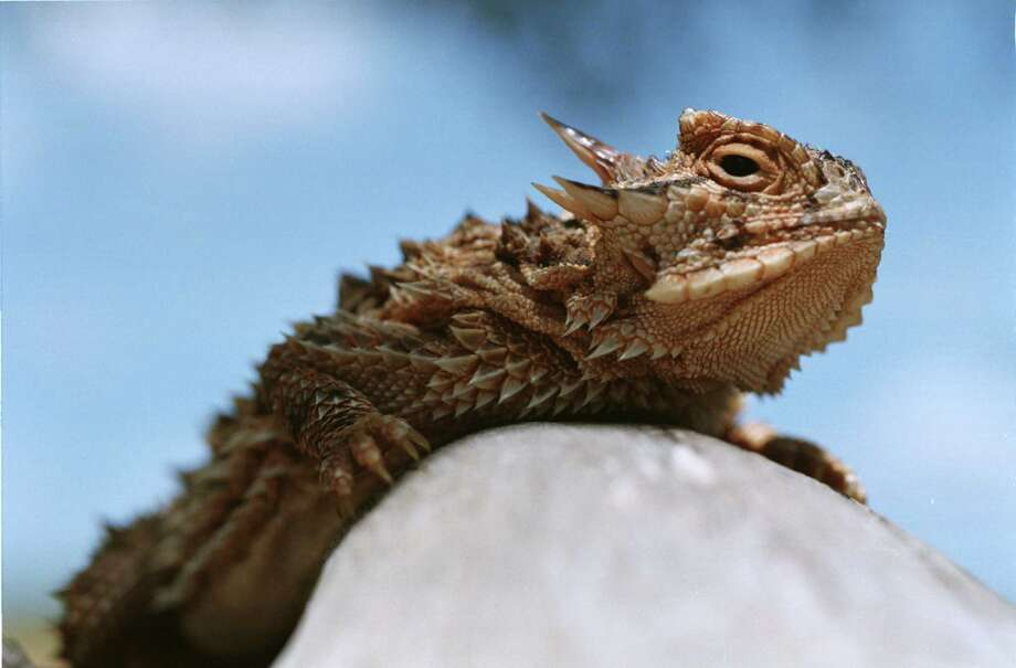 A team of European scientists have recreated the skin of the Texas horned lizard, which can passively transport water without any force.The Texas horned lizard is the state's official reptile and its population is threatened. Photo: Karen Warren / Houston Chronicle