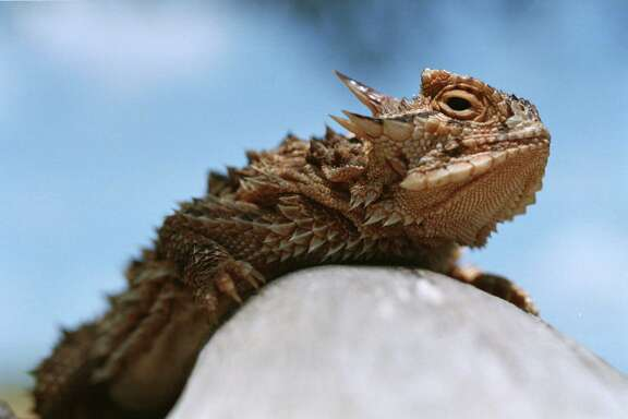 The Texas horned lizard  is endangered in Texas. The red imported fire ant in a major threat to horned lizard populations