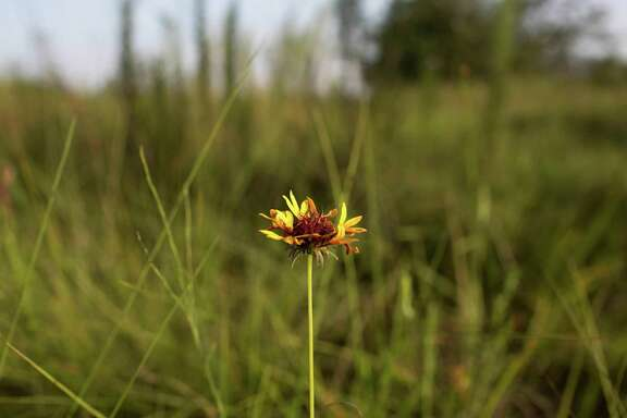 Firewheel grows at a virgin prairie August 8, 2013 in Deer Park, TX. Conservancy groups are making a desperate final attempt to save a rare virgin tall-grass prairie in Deer Park. According to Jennifer Lorenz, of the Bayou Land Conservancy, corporate deals to preserve the unusually biodiverse prairie and create an education center there have been moving far slower than the real estate market. If the conservancy can't raise $4 million by Aug. 20, the 53 acres, untouched by plow or bulldozer, will be scraped to make room for 201 houses., August 8, 2013 in Houston.  (Eric Kayne/For the Chronicle)