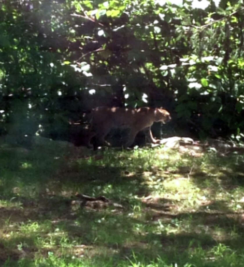 This big cat was spotted behind the B&B Insurance co. on Route 67 in Oxford this week. Photo: Contributed Photo