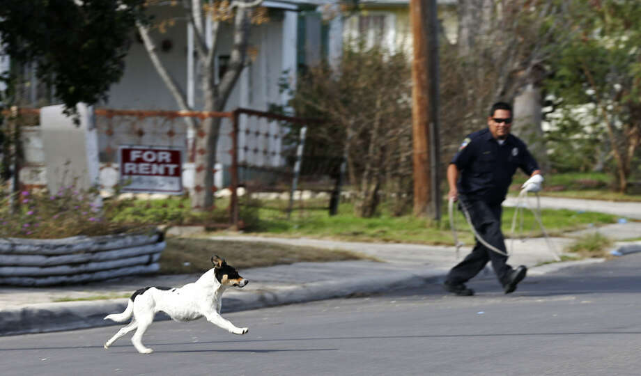 The stray dog problem is more than a nuisance in San Antonio. The loose animals create safety and quality-of-life issues. Photo: Jerry Lara, San Antonio Express-News