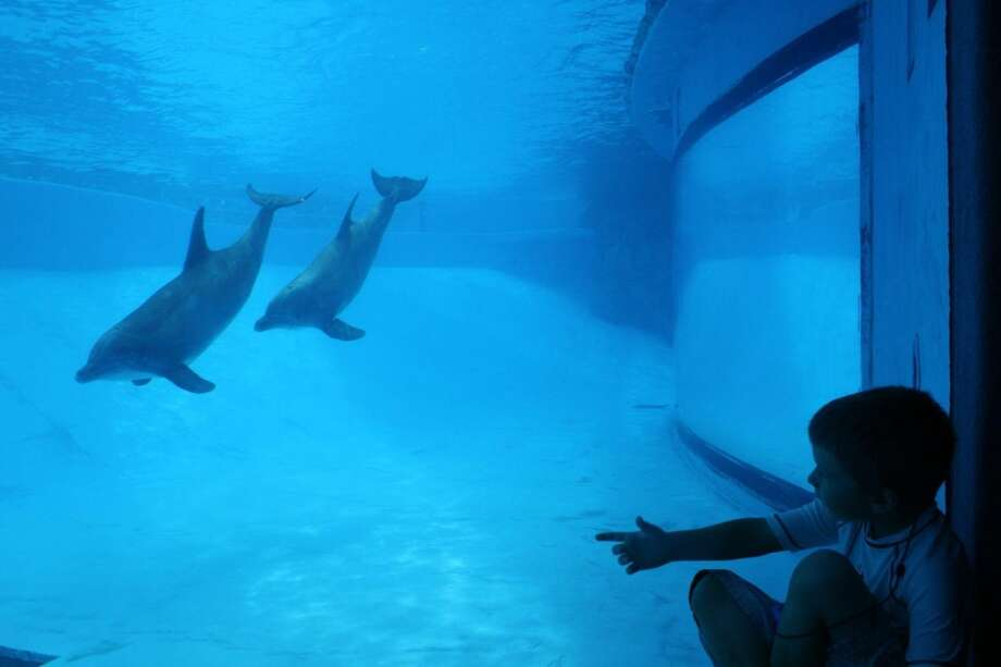 Bottlenose dolphins amuse visitors at the Texas State Aquarium, who can choose an underwater viewing area or watch from above. Photo: By Jennifer Roolf Laster, For The Express-News