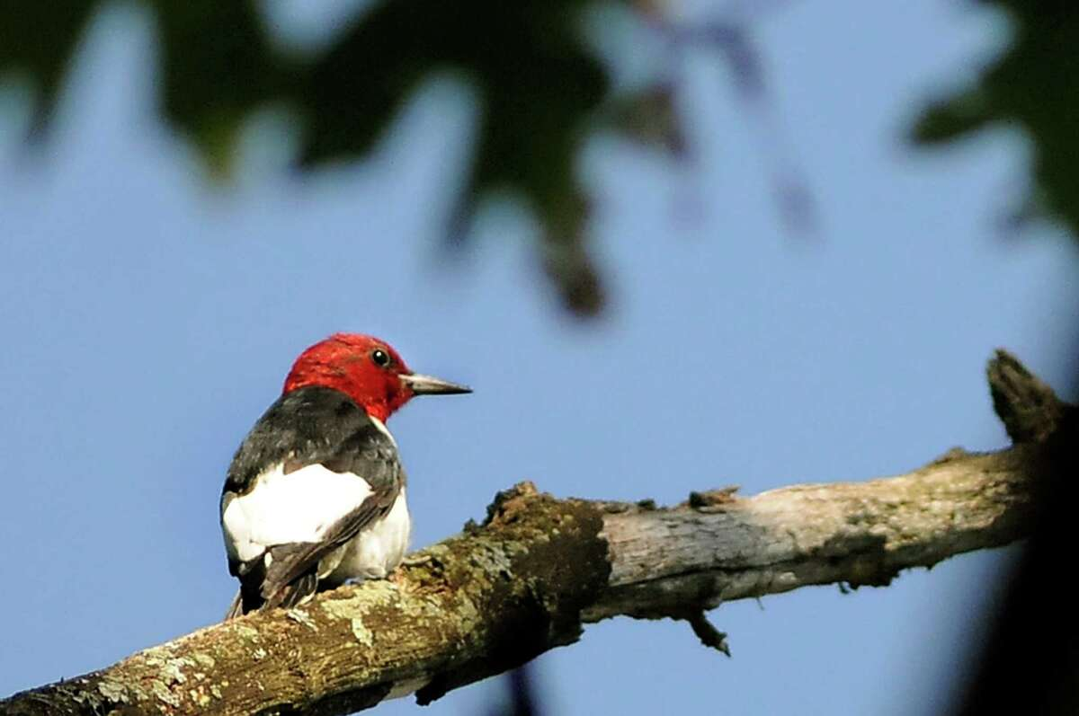 A red-headed woodpecker on Saturday, Aug. 10, 2013, at the Albany Pine Bush Preserve in Albany, N.Y. (Cindy Schultz / Times Union)