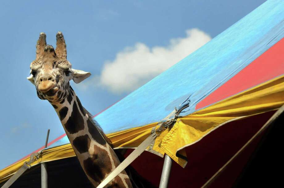 A giraffe looks out from under the petting zoo tent on Saturday, Aug. 10, 2013, at the Altamont Fairgrounds in Altamont, N.Y. The fair opens Tuesday and runs through Sunday. (Cindy Schultz / Times Union) Photo: Cindy Schultz / 00023175A