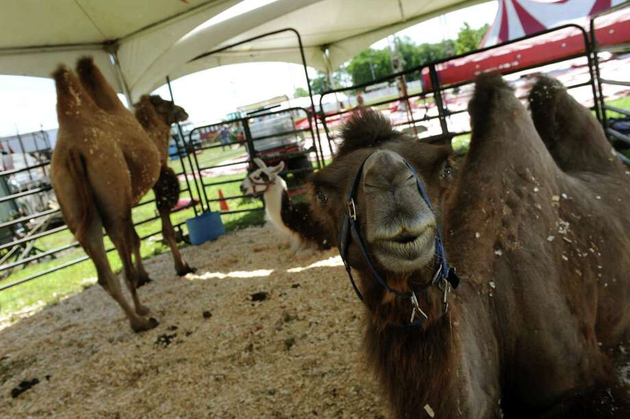 Camels and llamas, who are in Circus Hollywood acts, rest under a tent on Saturday, Aug. 10, 2013, at the Altamont Fairgrounds in Altamont, N.Y. The fair opens Tuesday and runs through Sunday. (Cindy Schultz / Times Union) Photo: Cindy Schultz / 00023175A
