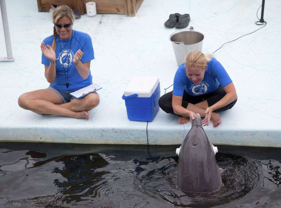 In this Wednesday, July. 3, 2013 photo, research assistant Jane Hecksher, left, claps as Emily Guarino, right, Administrative Director of Research, rewards an Atlantic bottlenose dolphin named Tanner after he copied a behavior while blindfolded during a demonstration at the Dolphin Research Center on Grassy Key in Marathon, Fla. Dolphins may be known for their intelligence and playful behavior. But turns out they can also switch on other senses to figure out a problem, just like humans. A new study indicates that when one of their senses is blocked, they can make decisions to use other senses to mimic a human's movements. Photo: AP