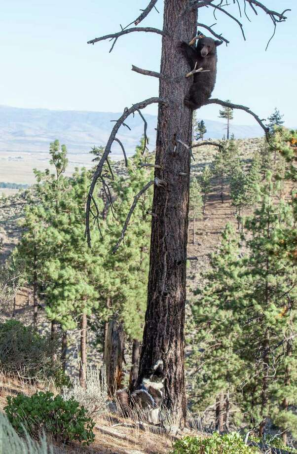 "In this photo provided by Nevada Department of Wildlife and taken Friday Aug. 9, 2013, a yearling male black bear runs up a tree to get away from Karelian Bear Dog ""Rooster,"" left, as he is released from a bear trap in the Carson Range in the Toiyabe National Forest above Gardnerville, Nev. The bear was tranquilized earlier morning by wardens from the Nevada Department of Wildlife, NDOW, as it was found up a tree at a residence in the Gardnerville Ranchos, in Gardnerville, Nev. NDOW has saved nearly 400 bears using aversive conditioning treatment since the technique was first employed in the late 1990s."" Photo: AP"