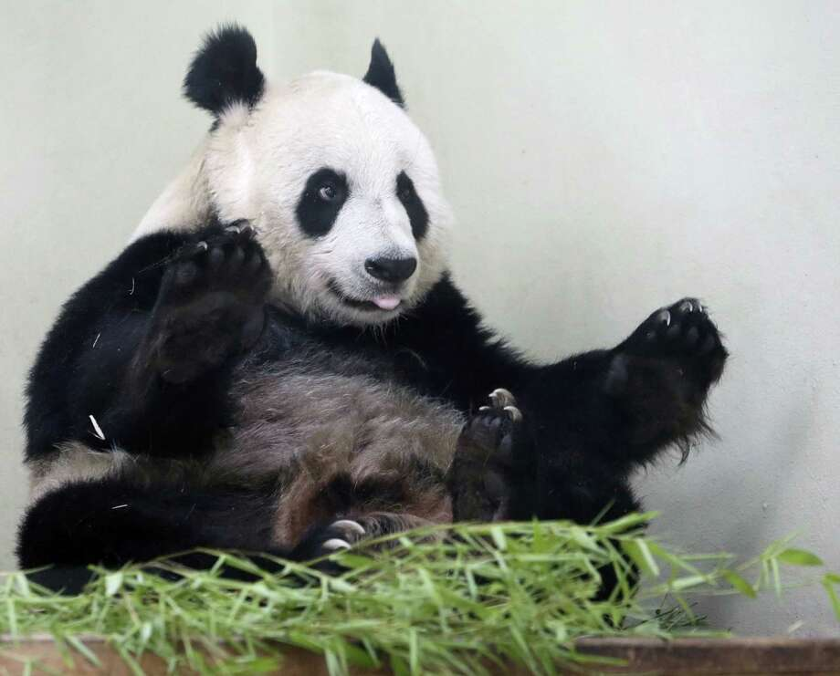 Female giant panda Tian Tian in her enclosure at Edinburgh Zoo on Friday, Aug. 9 2013.   The female giant panda at Edinburgh Zoo is showing encouraging signs she may be pregnant, according to keepers.  The zoo says nesting behavior and changes in hormone levels suggest Tian Tian could be expecting a cub - or experiencing a phantom pregnancy, not uncommon in pandas. The zoo artificially inseminated Tian Tian, or Sweetie, after she was reluctant to mate with male companion Yang Guang, or Sunshine. The two animals arrived from China in 2011, and are the only pandas in Britain. (AP Photo / Danny Lawson/PA)  Photo: AP