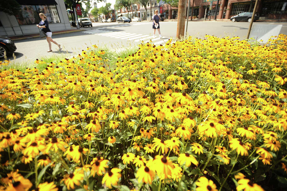 A large patch of black-eyed susans abuts the intersection of the Post Road and Reef Road in downtown Fairfield, Conn, on Sunday, August 11, 2013. Photo: Brian A. Pounds / Connecticut Post